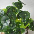 Pepper grass leaf